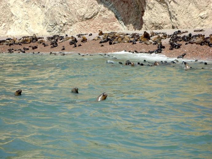 Paracas Lobos marinos